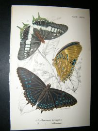 Allen & Kirby 1890's Antique Butterfly Print. Charaxes Tiridates